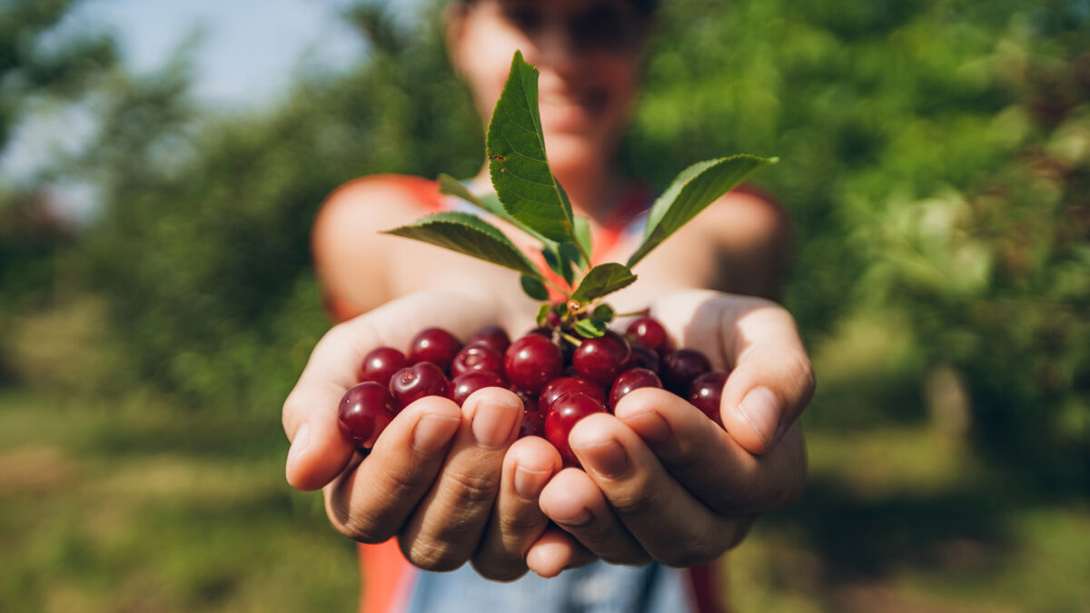 Person Holding Cherries in Hands