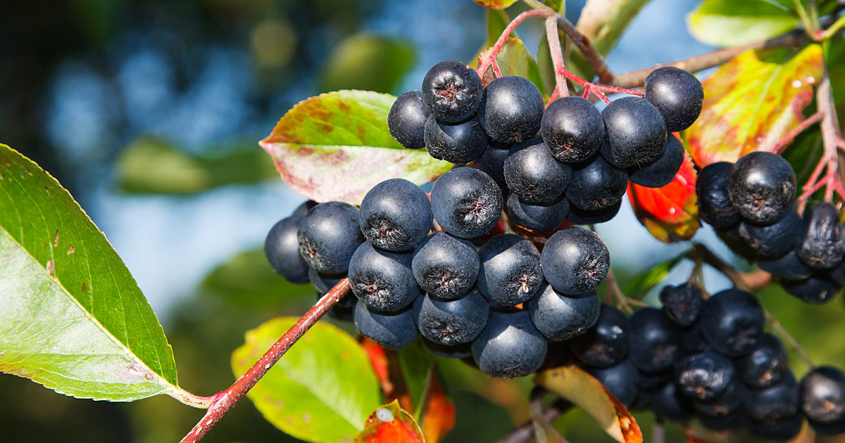Aronia Berries: One of the Most Powerful Superfoods | Shoreline Fruit