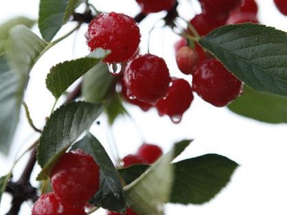 Montmorency tart cherries on tree