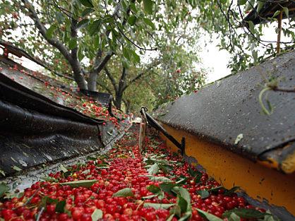 Tart Cherry Harvesting