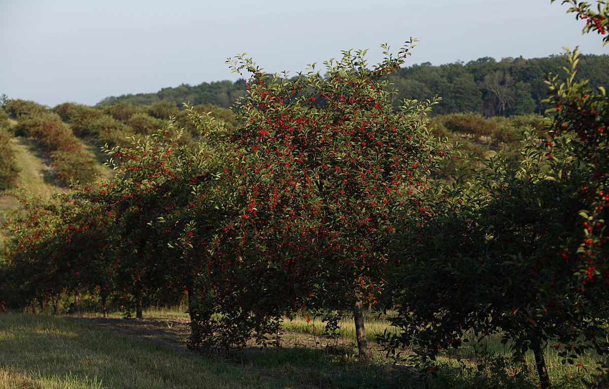 Hills With Tart Cherry Orchard