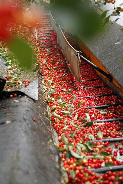 Harvesting Cherries