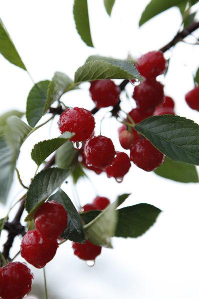 Tart cherries on tree